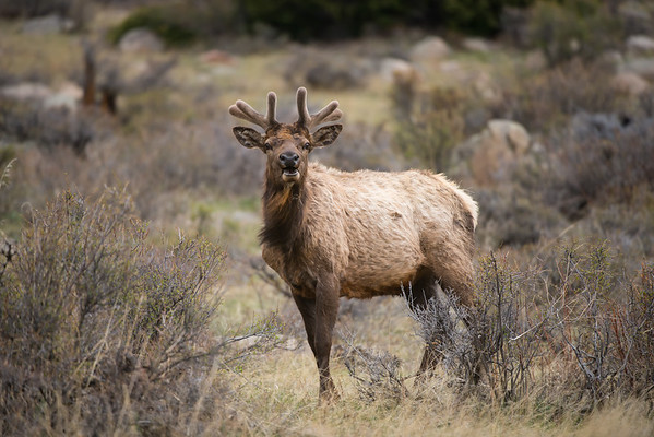 Rocky Mountain Elk Bull in Velvet