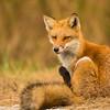 Red Fox - Bombay Hook National Wildlife Refuge, Delaware