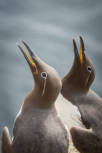 Briddled Guillemots