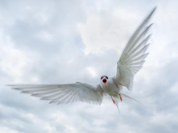 Angry Tern