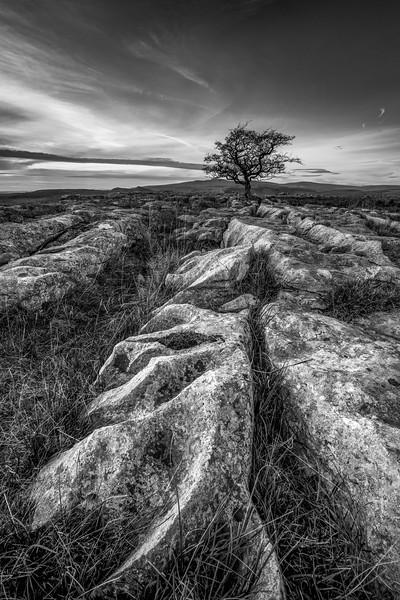 The Lone Hawthorn