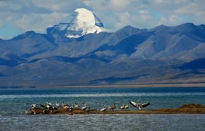 seems like the ducks on Manasarovar lake are paying homage to holy mount Kailash