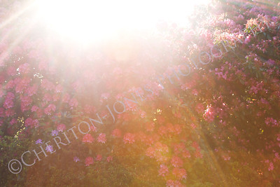 Summer Sunburst over Rhododendron Bush Background
