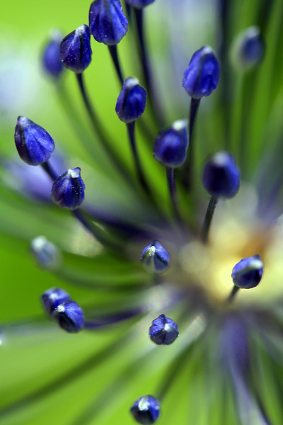 Blue Allisum