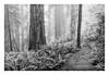 North Coast Redwood Forest 4