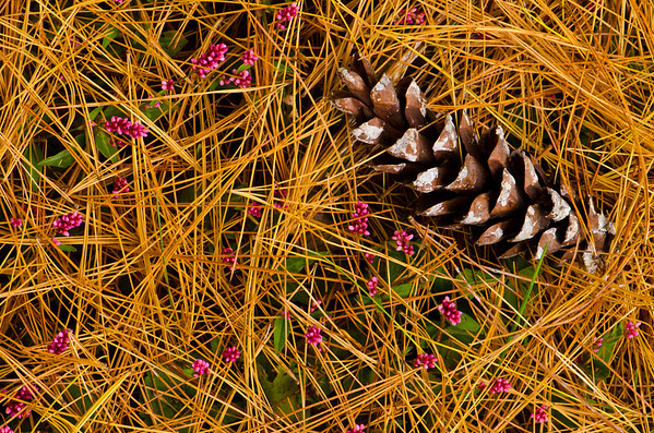 Pine Cone and Needles - Delaware
