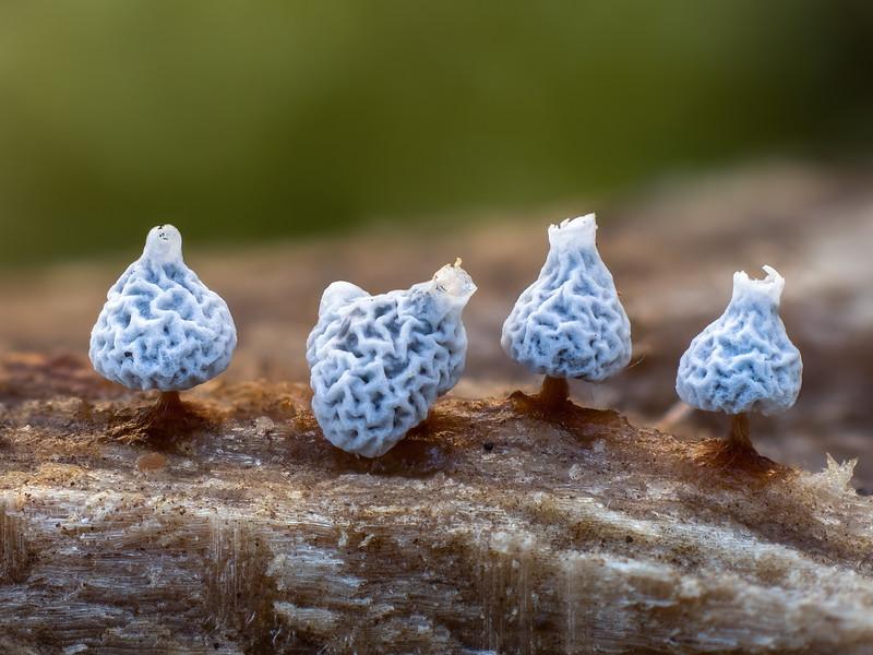 Odd shaped Didymium squamulosum