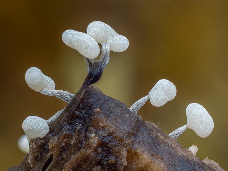 Immature Physarum compressum
