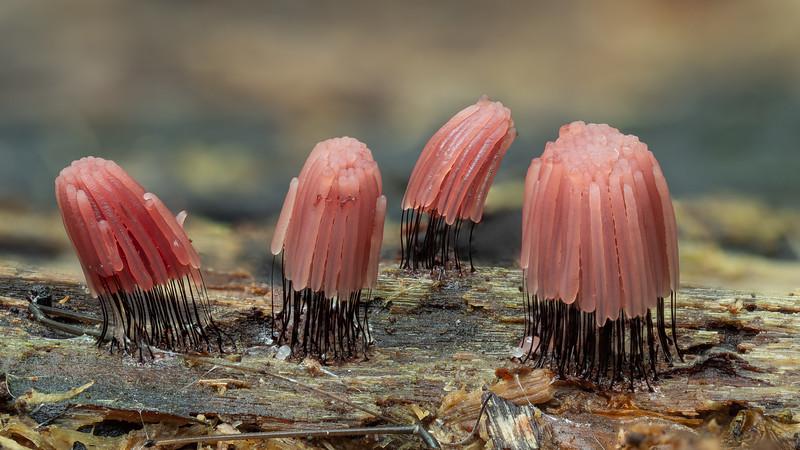 Stemonitis species possibly fusca