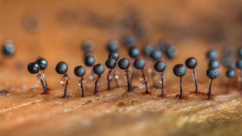 Lamproderma arcyrionema group
