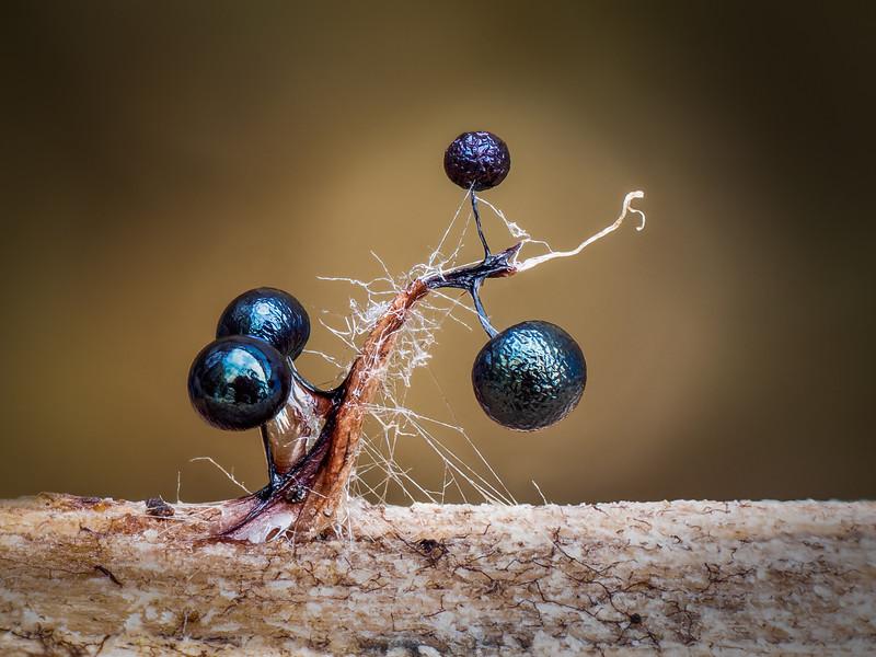 Lamproderma climbing a splinter of wood