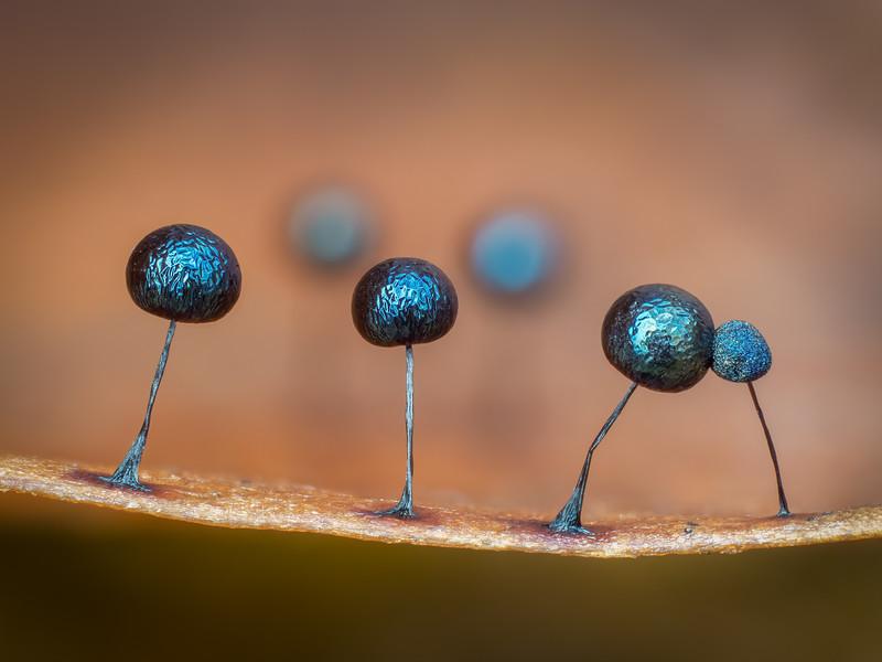 Lamproderma on a leaf edge