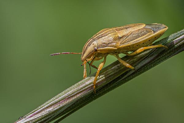 Bishop's Mitre Shieldbug