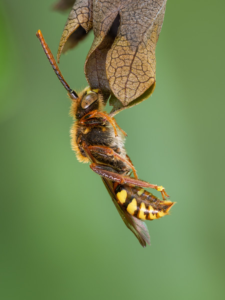 Nomad Bee resting