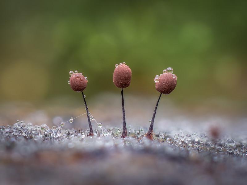 Comatricha nigra trio
