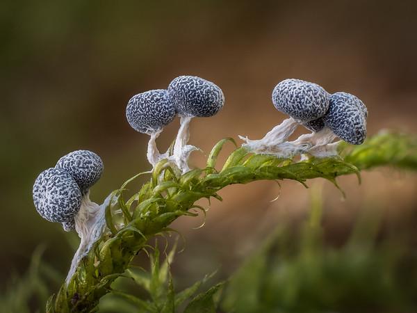 Physarum leucopus