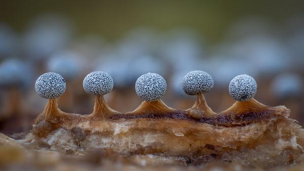 Physarum leucophaeum
