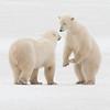 Sibling Polar Bears