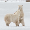 Sibling Polar Bears #2
