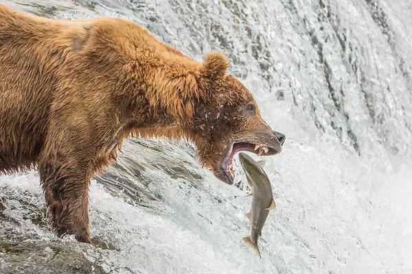 Fishing at Brooks Falls