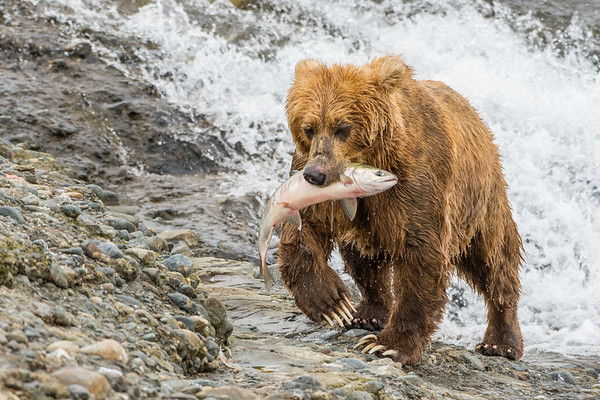 Grizzly and Fish