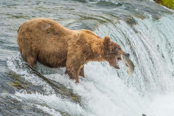 Coastal Brown Bear at Brooks Falls