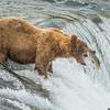 Coastal Brown Bear at Brooks Falls