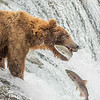 Coastal Brown Bears fishing at Brooks Falls