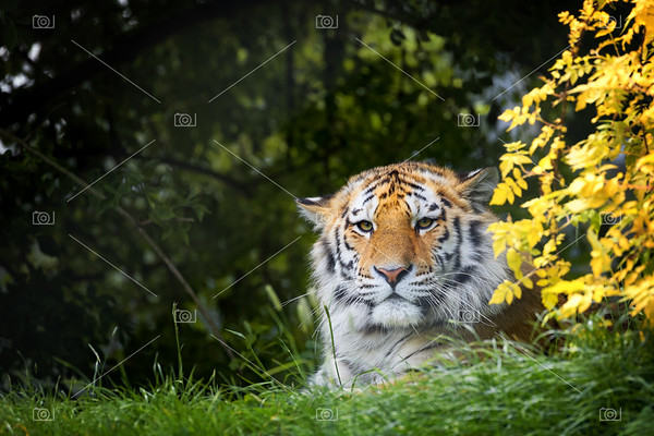 Siberian tiger hiding in the undergrowth