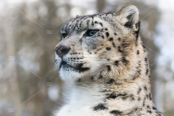 Snow leopard in sunlight