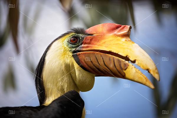 Wrinkled hornbill closeup