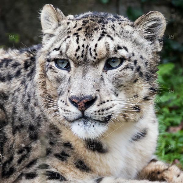 Adulyt snow leopard portrait