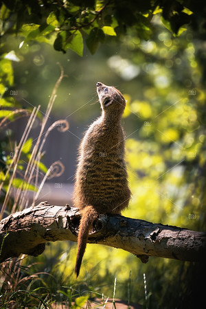 Magical meerkat