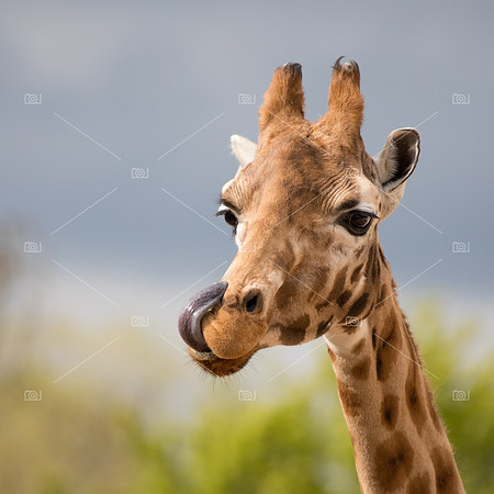 Comical giraffe with his tongue out.
