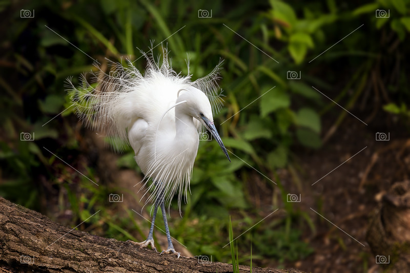 Little egret showing breeding season plumage