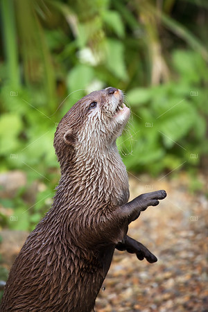 Oriental small-clawed otter.