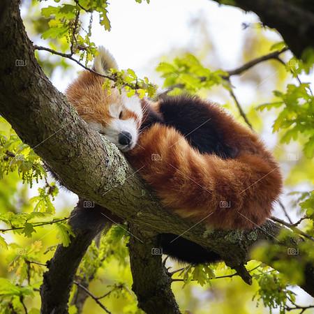 Red panda sleeping in a tree