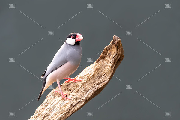 Adult Java sparrow