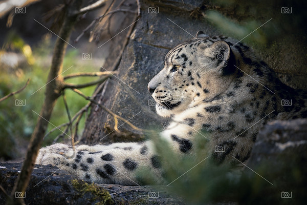 Adult snow leopard resting in the undergrowth