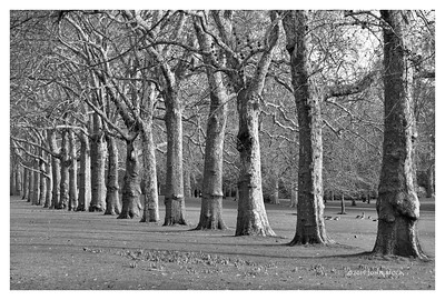 Trees On The Mall - London