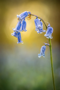Bluebell and Spider