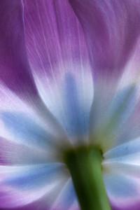 Tulip from below