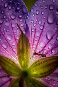 Ant and Geranium