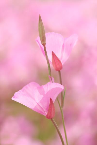 Pink Escholzia