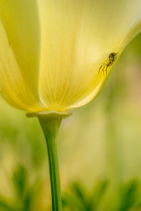 Californian Poppy and Spiderling