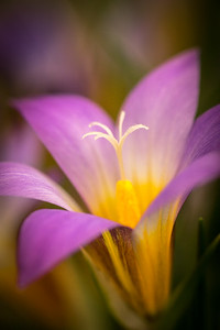 Alpine Crocus