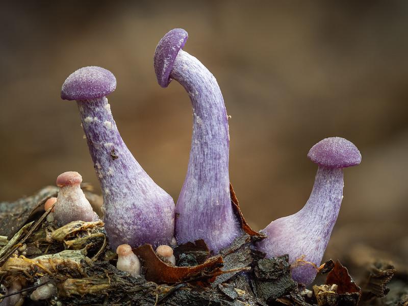 Juvenile Amethyst Deceivers, Laccaria amethystina