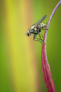 Fly resting on ornamental grass