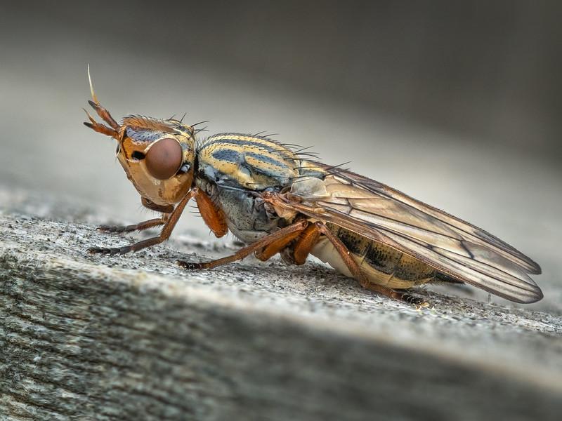 Phoenix Fly (Dorycera graminum)