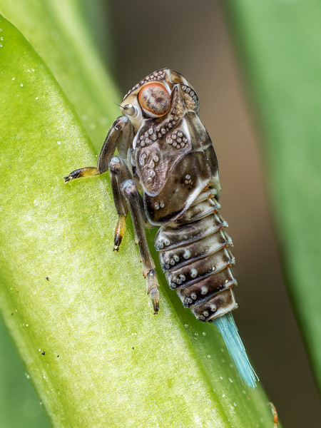 Plant Hopper nymph (Issus coleoptratus)